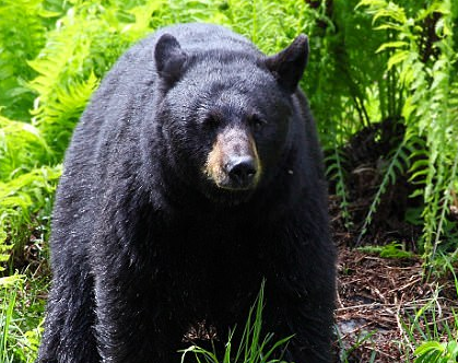 A bear bit Teen summer camp counselor  in head twice while sleeping in his tent
