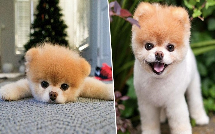 Boo the Pomeranian, the World's Cutest Dog, Dies at 12 From Heart Issues